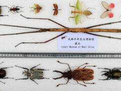 В Китае нашли самое длинное насекомое в мире