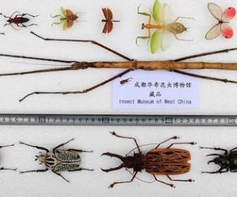 Самое длинное насекомое
