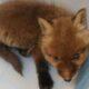 В Петербурге спасли лисёнка, мать которого сбила машина