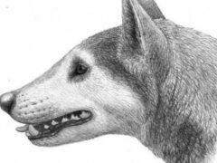 Палеонтологами описан новый вид собак по окаменевшему зубу