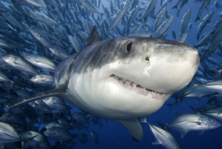 Австралийские ихтиологи выяснили что акулы ведут себя как личности сообщает издание Journal of Fish Biology