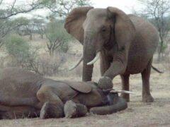 На севере Шри-Ланки удар молнии убил четырех слонов