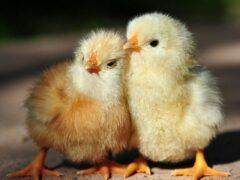 В Узбекистане учителя получили зарплату цыплятами