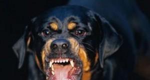 собака ротвейлер