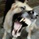 Бешеная собака напала на четырех человек в Курской области