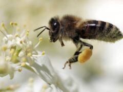 Ученые: Пчелы собирают огромное количество пестицидов