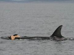 Ученые: дельфины и киты скорбят по умершим, как люди