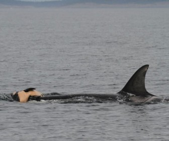 киты скорбят по умершим