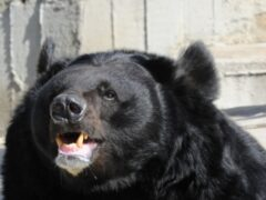 В Японии 46-летнюю сотрудницу сафари-парка разорвал медведь