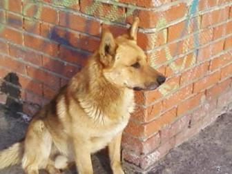 собака дворовая