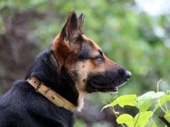 собака служебная
