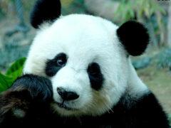 Большую панду исключили из вымирающего вида