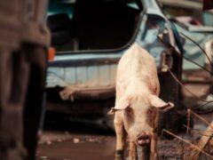 В Татарстане из-за свиньи на дороге погиб водитель