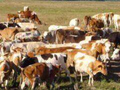 В Брянской области осудили похитителя коровы