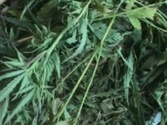 В Хакасии у мужчины изъяли более 600 граммов марихуаны