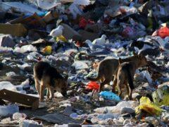На курских свалках крысы и собаки привыкают к человечине