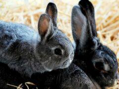 Жительница Прикамья украла в Новороссийске у подруги 6 кроликов