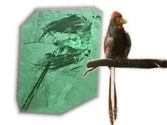Eoconfuciusornis окаменолости