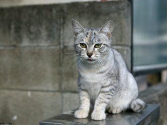 кот серый