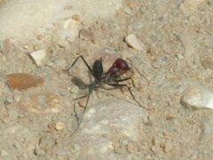 Ученые: муравьи способны считать и запоминать количество шагов