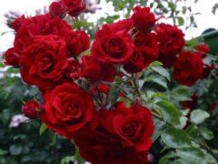 Саратовец обокрал цветочный магазин на 8 Марта и подарил розы женщинам