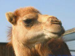 В Подмосковье верблюд укусил беременную женщину