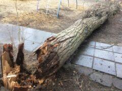 Под Воронежем 13-летняя девочка погибла от упавшего на нее дерева