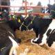 Перспективы развития животноводства