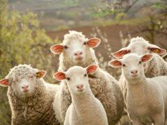 Под Воронежем двое мужчин на ВАЗ-2109 ночью похитили пять овец