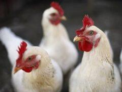 Воронежский вор ухитрился напихать в один пакет восемь живых кур