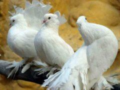 Жители Энгельса пожарили и съели украденных голубей