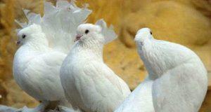 голуби породистые